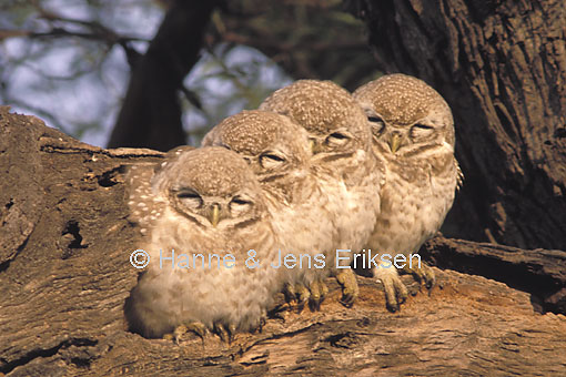 spotted owlet